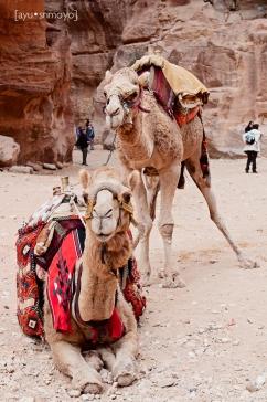 Camels at the Treasury, Petra, Jordan