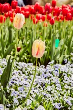 2 Tulips - Tulip Top Garden