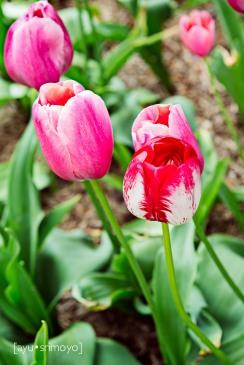Pink Tulip - Tulip Top Garden