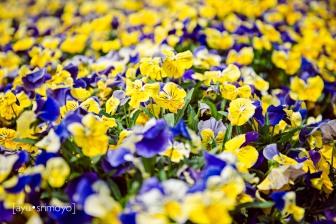 Other non tulip flowers - Tulip Top Garden